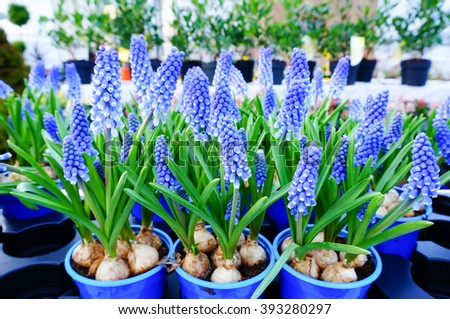 Blue spring flowers grape hyacinth (Muscari armeniacum) in pots - stock photo