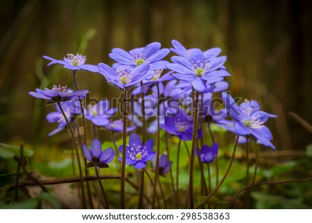 blue spring flowers in the forest - stock photo