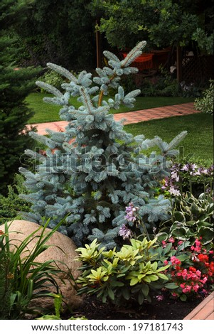 blue spruce tree in the landscape design garden composition with flowers and stone - stock photo