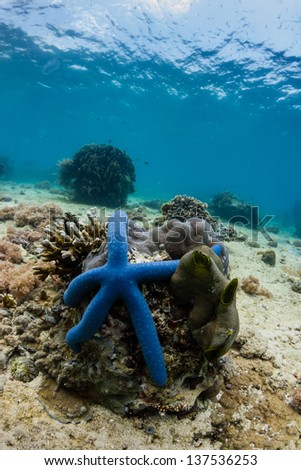 Blue starfish on a tropical coral reef - stock photo