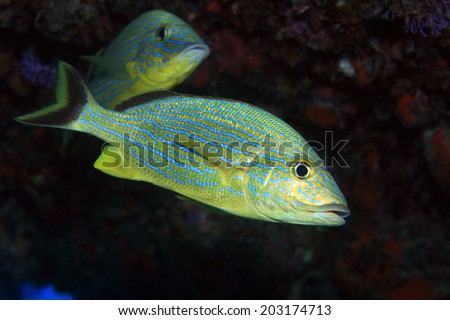 Blue stripe grunt (Haemulon sciurus) in the tropical waters of the caribbean sea - stock photo