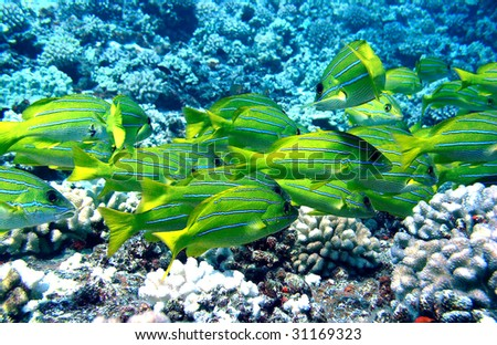 Blue Striped Snapper in Maui Hawaii - stock photo