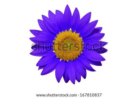 Blue Sun flower with isolation - stock photo