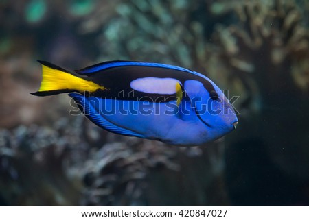 Blue surgeonfish (Paracanthurus hepatus), also known as the blue tang. Wild life animal.  - stock photo