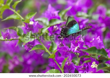 Blue Swallowtail Butterfly flying between pink flowers - stock photo