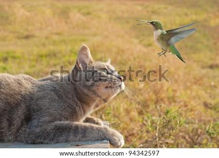 Blue tabby cat watching a Hummingbird in flight - stock photo