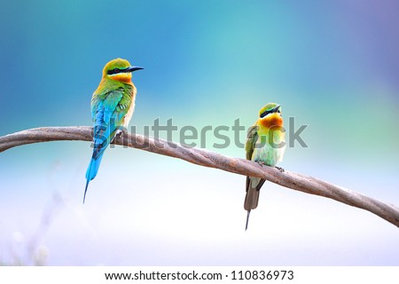 Blue Tailed Bee Eater bird of Thailand  sitting on tree limb - stock photo