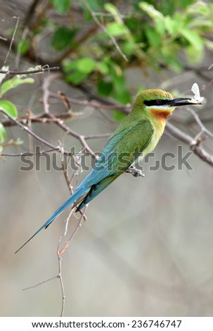 Blue tailed bee eater perched on a tree in Jhirna forest - stock photo