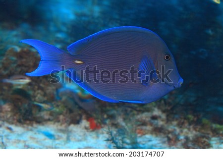 Blue tang surgeonfish (Acanthurus coeruleus) in the tropical coral reef of the caribbean sea - stock photo