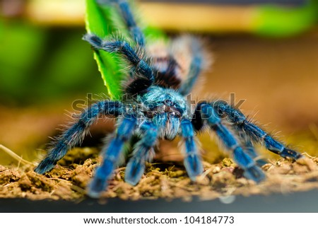 Blue Tarantula, Pinktoe Spiderling (Avicularia Versicolor) - stock photo