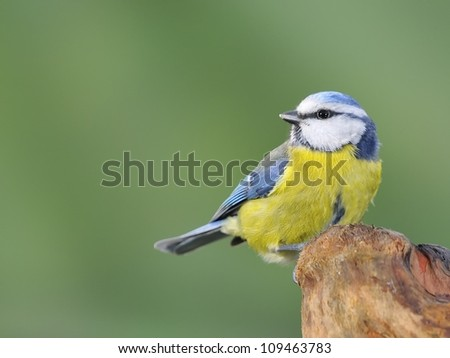 Blue tit, cyanistes caeruleus. - stock photo