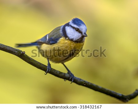 Blue tit (Cyanistes caeruleus) on a branch with yellow autumn color background - stock photo