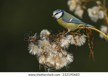 Blue tit in autumn setting - stock photo