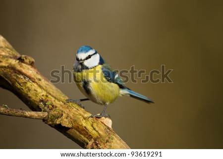 Blue Tit on a branch - stock photo