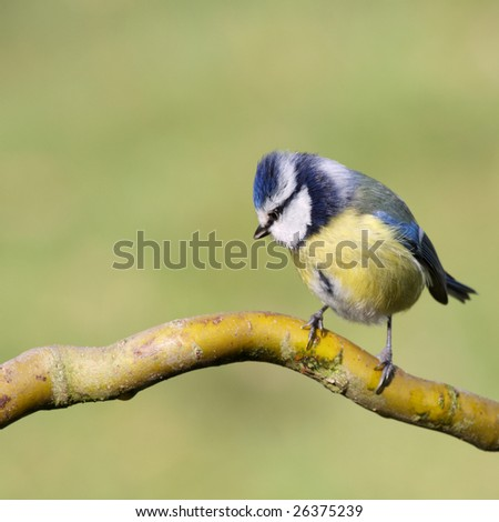 blue tit on a branch, in profile - stock photo