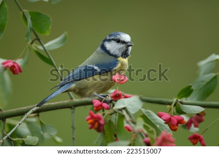 Blue tit on a European spindle - stock photo