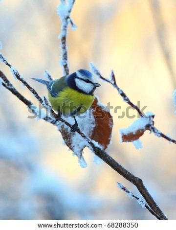 Blue tit on a snowy, icy branch 1. - stock photo