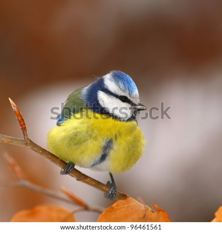 Blue tit on a winter-branch with bud - stock photo
