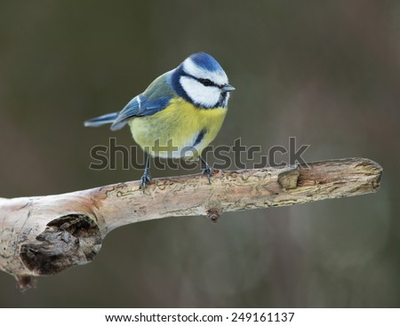 Blue tit on branch     - stock photo