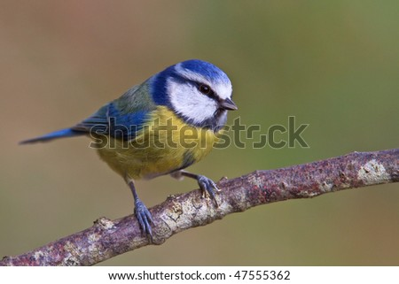 Blue tit, Parus caeruleus on a branch. Shallow depth of field and bakground blurred - stock photo