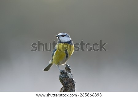 Blue Tit perched on a branch, Cyanistes caeruleus - stock photo