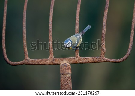 Blue tit perched on a old rusty agricultural fork - stock photo