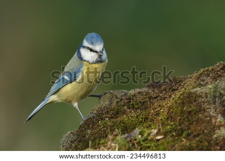 Blue tit perched on a rock with moss - stock photo
