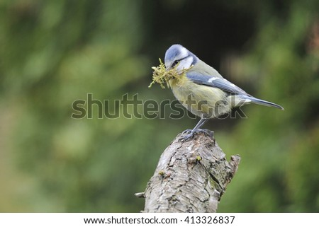 Blue tit when nesting - stock photo