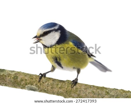 Blue tit with open beak turned left on white background - stock photo