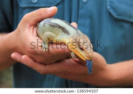 Blue-tongued lizard in human hands, Tasmania, Australia - stock photo