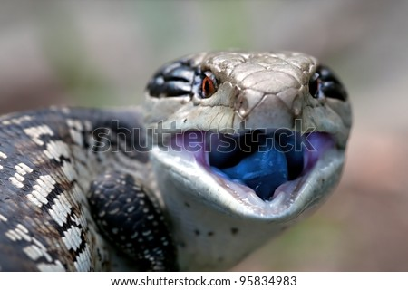 Blue Tongued Skink, body length 35cm - stock photo