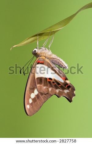 Blue triangle butterfly draying wings after emerging from its chrysalis - stock photo