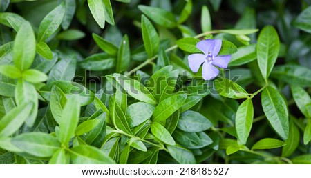 Blue vinca flower and green vinca leaves. Close up. - stock photo