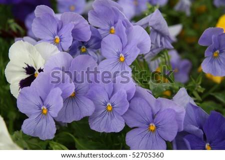 blue violas - stock photo