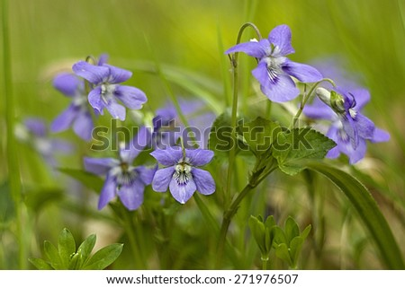 blue violets in the forest - stock photo