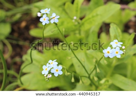 "Blue ""Water Forget-Me-Not "" flowers (or True Forget-Me-Not) in St. Gallen, Switzerland. Its Latin name is Myosotis Scorpioides (Syn Myosotis Palustris), native to south Europe. - stock photo"
