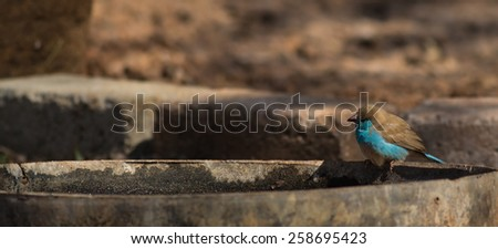 Blue Wax Bill - stock photo