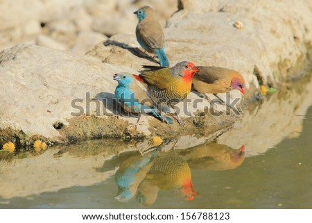Blue Waxbill, Melba Finch and Violet-eared Waxbill - Wild Bird Background from Africa - Colorful avian species from the Animal Kingdom and agile beauty from Mother Nature. - stock photo