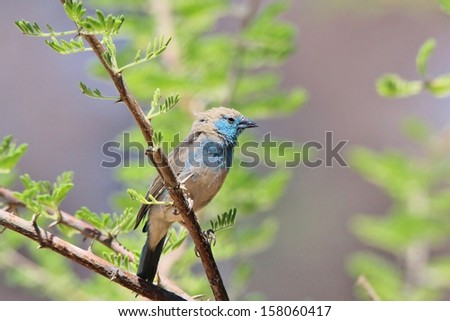 Blue Waxbill - Wild Bird Background from Africa - Beautiful colors of wildlife from the free and gorgeous Animal Kingdom. - stock photo