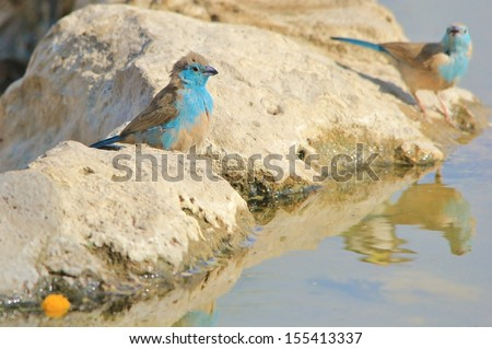 Blue Waxbill - Wild Bird Background from Africa - Color of the wild and wilderness  - stock photo