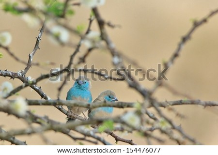 Blue Waxbill - Wild Bird Background from Africa - Fluff and beautiful blue of a couple posing admits spring blossoms of a thorn bush  - stock photo