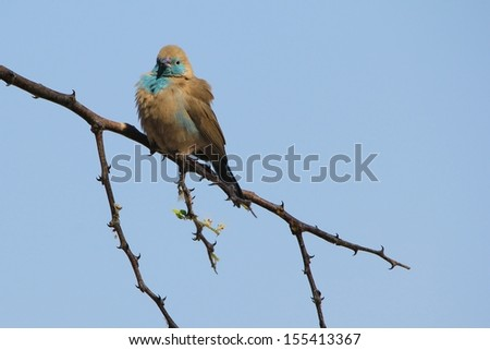 Blue Waxbill - Wild Bird Background from Africa - Fluff of plumage and wondrous color - stock photo