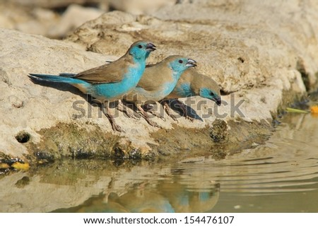 Blue Waxbill - Wild Bird Background from Africa - Trio of the wonderful colorful blue beauties - stock photo