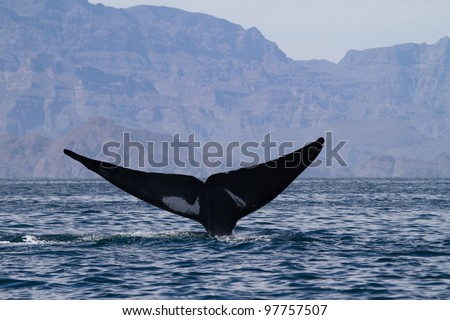 Blue whale diving, Sea of Cortez, Baja California, Mexico - stock photo