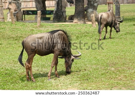 Blue wildebeest (Connochaetes taurinus) - stock photo