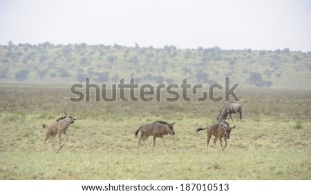 Blue Wildebeest (Connochaetes taurinus) aka Brindled Gnu  in the Kgalagadi Transfrontier Park South Africa. newborn calves frolic. - stock photo