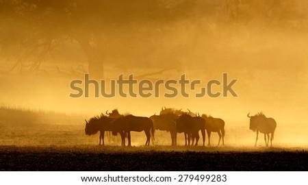 Blue wildebeest (Connochaetes taurinus) in dust at sunrise, Kalahari desert, South Africa - stock photo