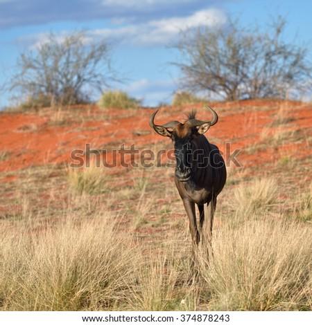 Blue wildebeest, Connochaetes taurinus, in the meadow, big animal in the nature habitat, Namibia, Kalahari desert, Africa - stock photo