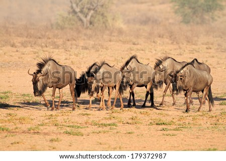 Blue wildebeest (Connochaetes taurinus) walking in dry riverbed, Kalahari desert, South Africa  - stock photo