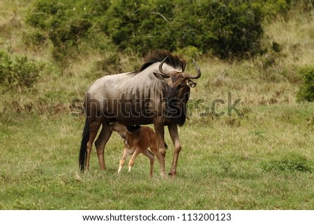 Blue Wildebeest cow and calf drinking,note color difference. - stock photo
